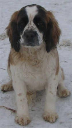 A white and brown with black ticked Miniature Saint Bernard is sitting in snow and looking forward.