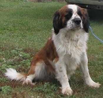 Front view - A white and brown with black Miniature Saint Bernard is sitting in grass and there is a car behind it.