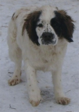 View from the front - A white with brown and black Miniature Saint Bernard is standing in snow and looking forward.