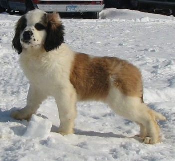 Side view - A brown and white with black Nehi Saint Bernard puppy is standing in snow and looking to the left of its body.