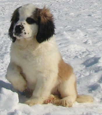 Front view - A brown and white with black Nehi Saint Bernard puppy is sitting outside in snow holding up its right paw.