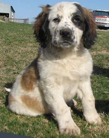Close up view from the front - A brown and white with black Nehi Saint Bernard puppy is sitting in grass and looking forward. There is a truck and a barn in the background behind it.
