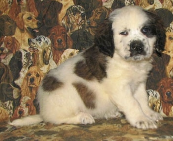 A white with brown and black Nehi Saint Bernard puppy is sitting on a couch that has dogs printed all over it. It is looking forward.