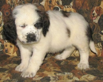 A white with brown and black Nehi Saint Bernard puppy is standing on a couch that has dogs printed all over it.