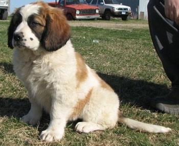 A brown with white and black Nehi Saint Bernard puppy is sitting in grass. There is a person kneeling behind it and old trucks in the distance next to a building.