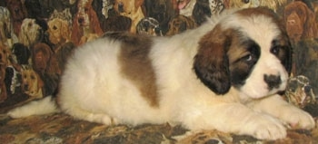 A white with brown and black Nehi Saint Bernard is laying on a couch that has dogs printed all over it.