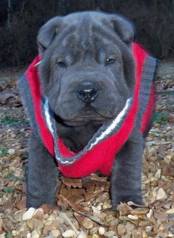 A wrinkly, dark grey Miniature Shar-Pei is standing in a very small pile of leaves. It is wearing a red, gray and white sweater.