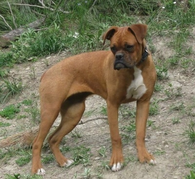 A brown with white Miniature Boxer is standing up a hill in patchy grass and it is looking to the left of its body