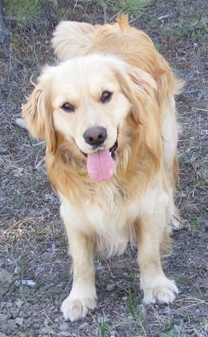 A happy looking panting Miniature Golden Retriever is standing in dirt and looking forward.