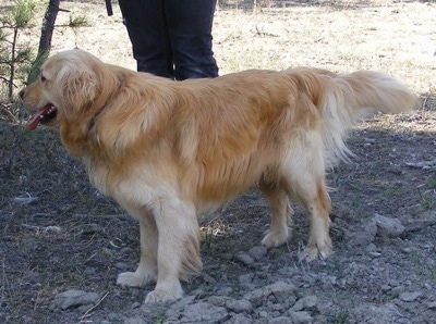 A Miniature Golden Retriever is standing in dirt and looking to the left. Its mouth is open and tongue is out. There is a person behind it.