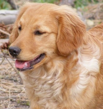 Close up upper body shot - A relaxed looking Miniature Golden Retriever standing near fallen trees.