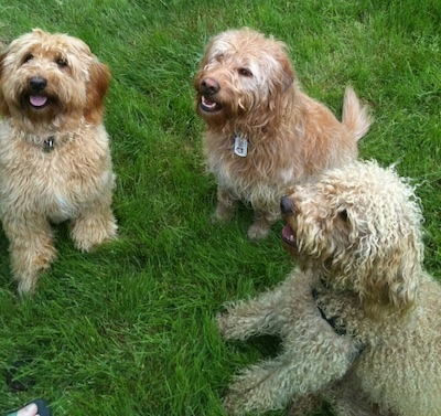 View from the top looking down - Three wavy long-coated Miniature Labradoodles are sitting in grass and looking up with their mouths open and tongues out