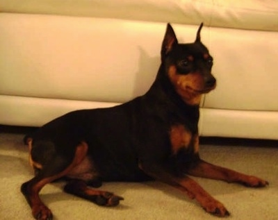 A perk-eared cropped black and tan Miniature Pinscher is laying next to a tan leather couch.