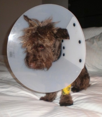 A brown Miniature Schnauzer dog is sitting on a human's bed and it has a white cone around its neck and a yellow bandage on its front paw. It is looking down.