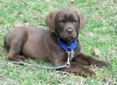 Front side view - A chocolate Labrador mix breed puppy is wearing a blue collar and a blue and white leash laying outside in grass looking forward.