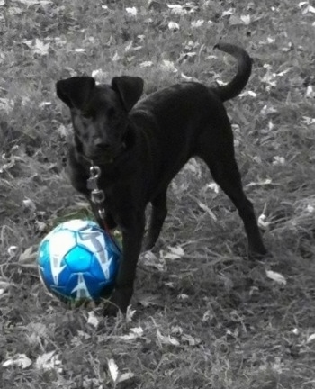 Front side view - A black Labrador Mix is standing in grass and there is a blue soccer ball in front of it. It is looking forward.