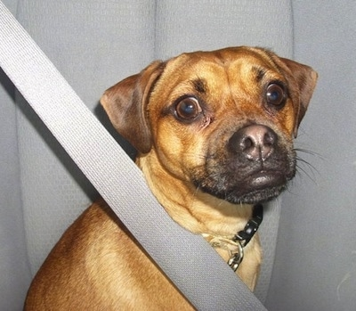 Close up upper body shot - A tan Muggin dog is sitting in the seat of a vehicle with a seatbelt across its body.