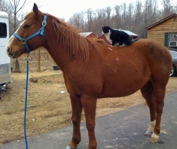 The left side of a black with white Cat is sitting on top of a horse's back