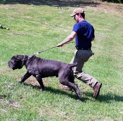 Side view - A wrinkly, dark blue Neapolitan Mastiff dog is walking across grass pulling on the leash and there is a man walking dressed in a blue shirt, tan pants and cap and brown boots holing on tightly as the dog pulls.
