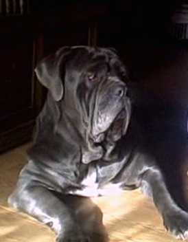 Front view - A dark blue with white Neapolitan Mastiff is laying on a hardwood floor in front of an entertainment stand. The dog has a lot of extra skin and big lips.