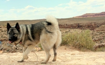 A tan with black Norwegian Elkhound is walking across a dirt path in a desert terrain with its front paw up in the air. Its mouth is open and its tongue is sticking out.