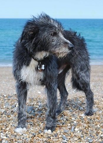 Front view - A rough coated, black with white Old Deerhound Sheepdog is standing on a beach in front of the ocean looking to the right.
