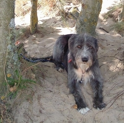 Front view - A rough coated, black with white Old Deerhound Sheepdog is laying on sand under the shade of trees.