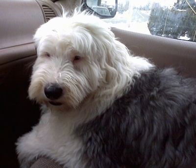 A shaggy grey with white Old English Sheepdog is laying down in the passenger seat of a vehicle looking sleepy.