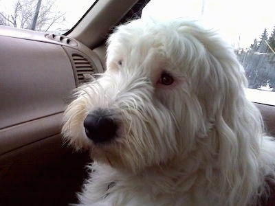 A grey with white Old English Sheepdog is sitting in the passenger seat of a vehicle. It is looking towards the driver side.