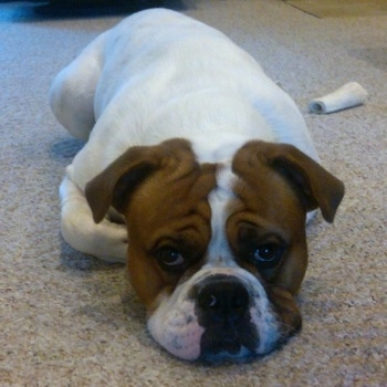 View from the front - A white with red Olde English Bulldogge is laying down on a tan carpet. There is a bone behind it.