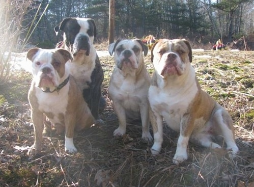 Front view - Four Olde English Bulldogges are lined up sitting in brown grass and weeds. They are all looking towards and posing for the camera