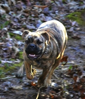 Front view action shot - A tan brindle Olde English Bulldogge is running towards the camera across a muddy ground with fallen leaves around it. The dog's front paw is in the air and its mouth is open showing its white teeth.