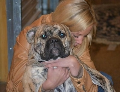 A tan brindle with white Olde English Bulldogge is in the arms of a lady with blonde hair who is holding the dog up in the air belly out. The lady is looking down at the dog's paw and the dog is facing the camera.