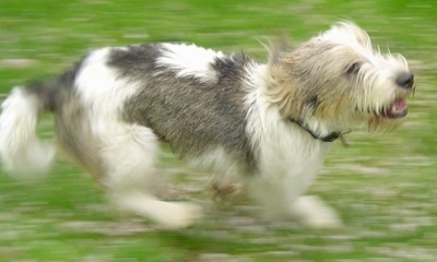 Side view action shot - A shaggy looking, white with black and tan Petit Basset Griffon Vendeen dog is running across a yard.