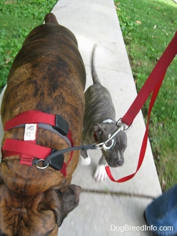 A blue-nose brindle Pit Bull Terrier puppy is following behind a brown brindle Boxer on a walk down a sidewalk.