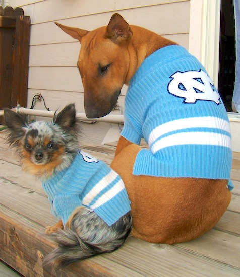 A long haired blue merle Chihuahua and a brown with white English Bull Terrier are wearing baby blue and white North Carolina University sweaters. They are sitting on a wooden deck looking back and down