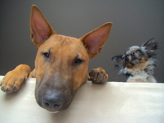 A long haired blue merle Chihuahua and a brown with white English Bull Terrier are hanging over the edge of a white ledge