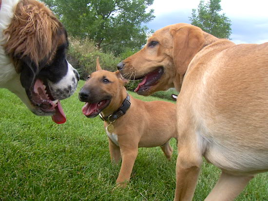 A brown with white English Bull Terrier is huddled together in a field next to a brown with white Labrador and face to face with a Saint Bernard. All of there mouths are open and tongues are out