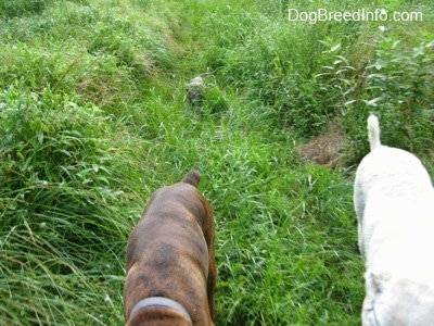 A blue-nose Pit Bull Terrier is being covered in tall grass as he follows behind a brown brindle Boxer and a Great Pyrenees.