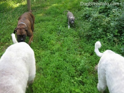 A brown brindle Boxer and a blue-nose Brindle Pit Bull Terrier puppy are walking in grass behind two Great Pyrenees dogs.