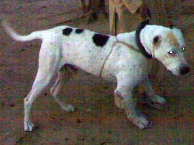 Side view - A white with black and tan Pakistani Bull Dog is standing on dirt and it is looking to the right. Behind it is a person in tan clothes and blue sandals holding its collar.