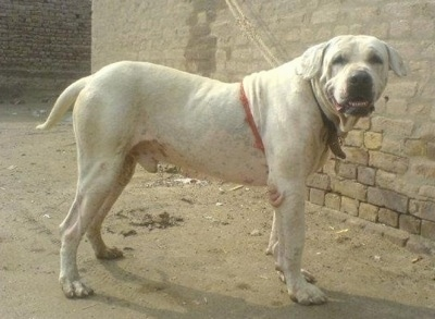 Right Profile - A Pakistani Bull Dog is standing on dirt next to a tan brick wall turned to look at the camera.