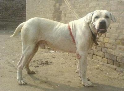 Ваша любимая бультерьероподобная собака PakistaniBullDogGullDongTerrDBI3