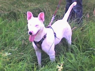 Front side view - A white Pakistani Bull Terrier is wearing a black harness standing in tall grass and it is looking forward. It is panting and there is a person behind it.