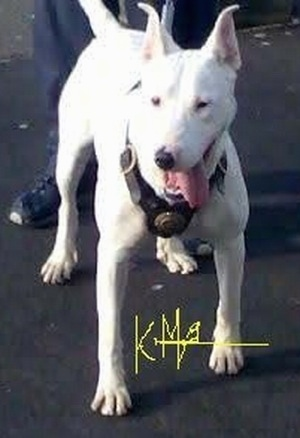 Front view - A white Pakistani Bull Terrier is standing on a black top surface and it is looking to the left. Its mouth is open and its tongue is hanging to the right side. The words - KMA - is overlayed.
