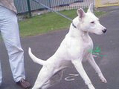Moothi, the Gull Terr (Pakistani Bull Terrier) female. Owned by Kalile (from U.K.). She was imported from Pakistan.