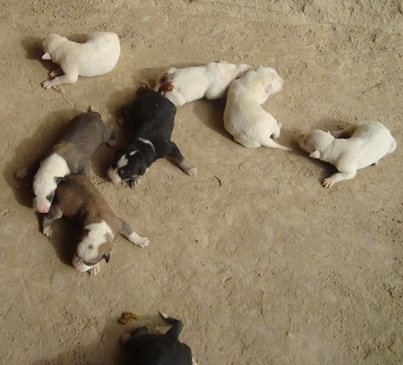 Pakistani Bull Terrier (Gull Terrier) puppies.