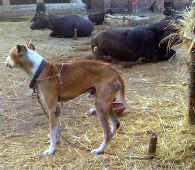 Left Profile - A crop-eared, red with white Pakistani Mastiff dog is tied to a stake standing in dirt that is covered in hay and it is looking left. There is a herd of cattle tied to posts laying down behind it.