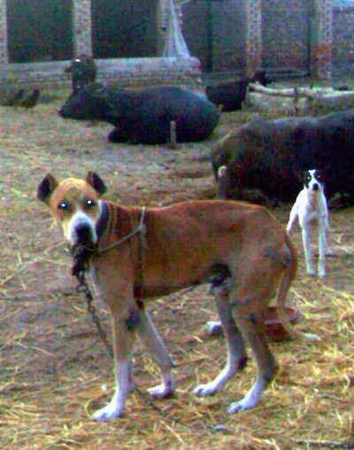 Left Profile - A crop-eared, red with white Pakistani Mastiff dog is tied to a stake standing in dirt that is covered in hay looking forward. Behind it is another smaller white with black dog and a herd of cattle who are also tied up. The cattle are all laying down.