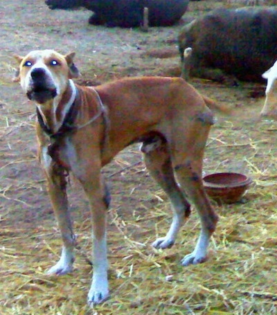 A crop-eared, red with white Pakistani Mastiff dog is standing in dirt that is covered in hay looking forward. It is barking. There is cattle behind it and a small red clay bowl. The dog and the cattle are tied to stakes.